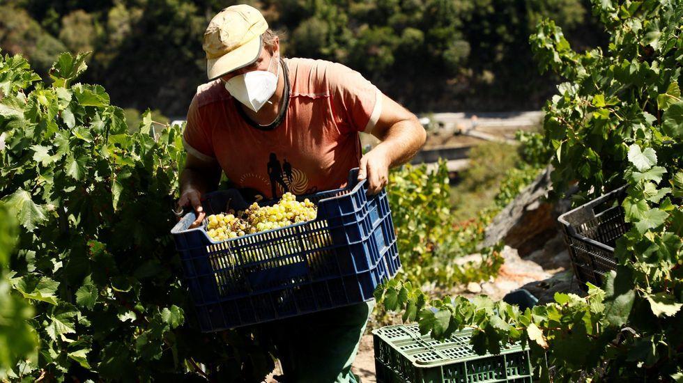 Lauva blanca es de las primeras en vendimiarse en los viñedos de Ribeira Sacra