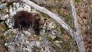 Oso joven en los Ancares leoneses, una zona desde la que los animales acceden a las sierras lucenses
