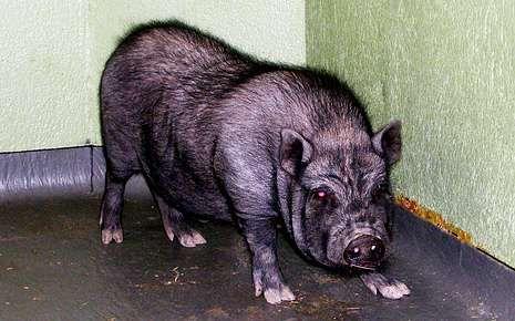 El Festival de Venecia cumple 70 años.El cerdo vietnamita recuperado en Outeiro de Rei.