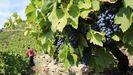 La uva maduró con rapidez y alcanzó un alto grado enla mayoria de las zonas