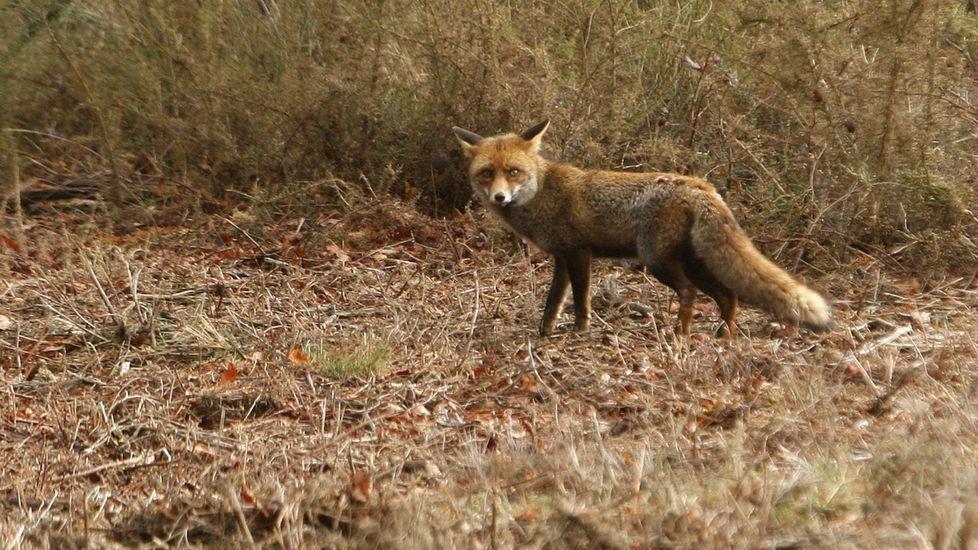 Imagen de archivo de un zorro