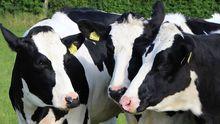 Vacas en Asturias