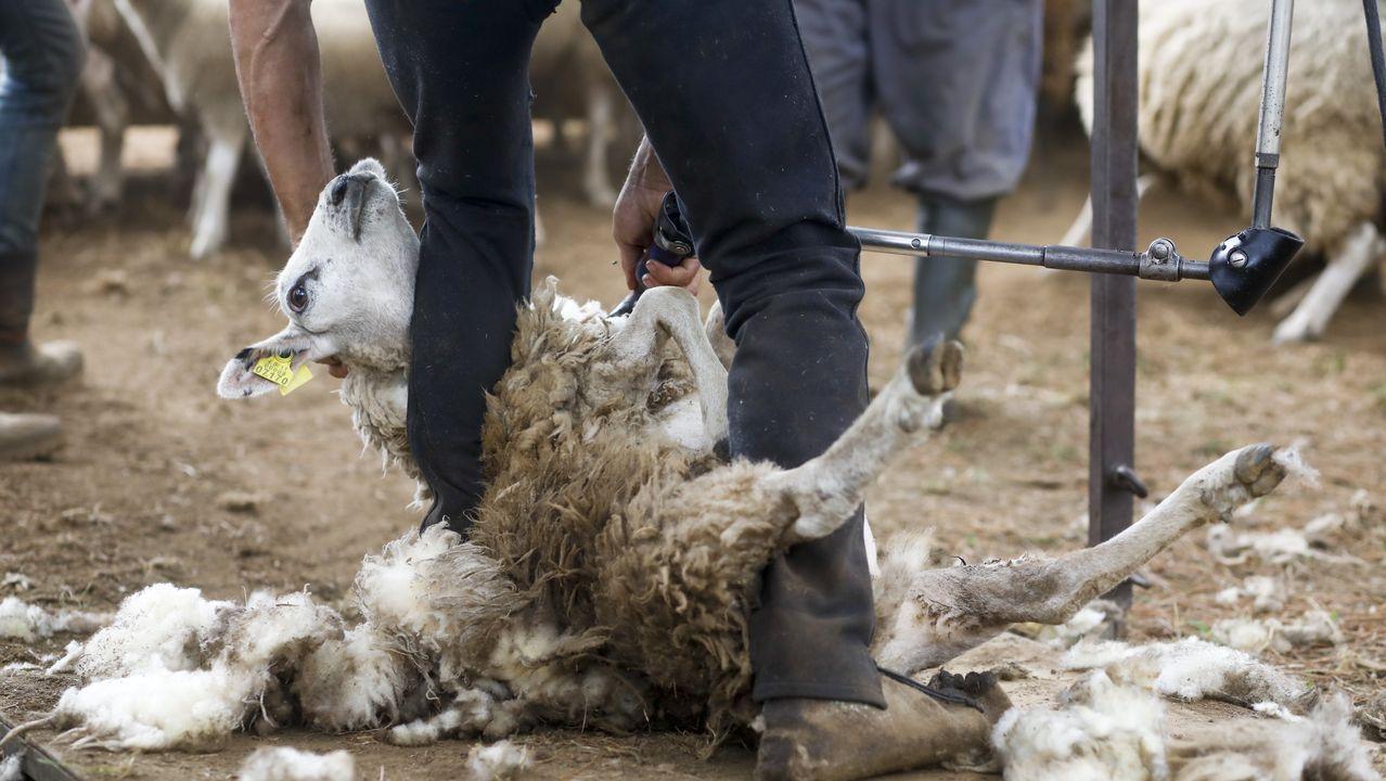Esquilar una oveja lleva aproximadamente un minuto y medio
