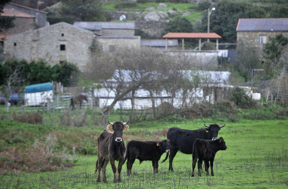 Imagen de algunas de las reses con los terneros en las proximidades de las casas.