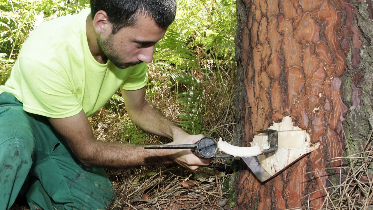 Extracción de resina de los pinos