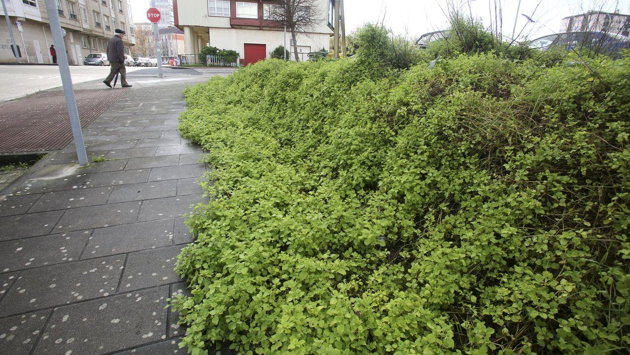 Siempre vivas, del litoral a cualquier calle. La SGHN cuenta con un atlas de invasoras que recoge el caso de la «Helichrysium petiolare Hilliard B.L.Burtt». Llegó a la costa, pero ya se encuentra en cunetas, campos de cultivo o centros urbanos como el de la imagen en Ferrol
