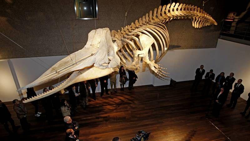 Cachalote gigante en el Museo del Mar de Vigo