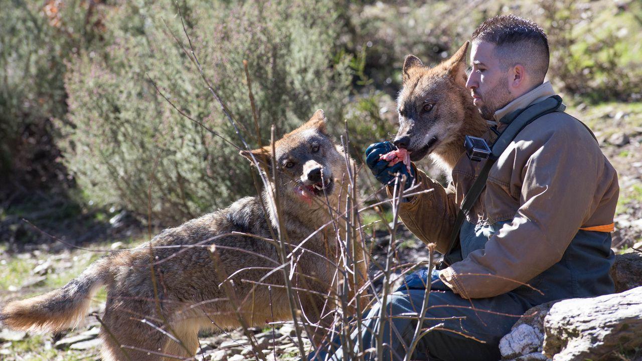 El Centro del Lobo de Castilla y Leon alberga en sus instalaciones 11 ejemplares de Lobo Iberico