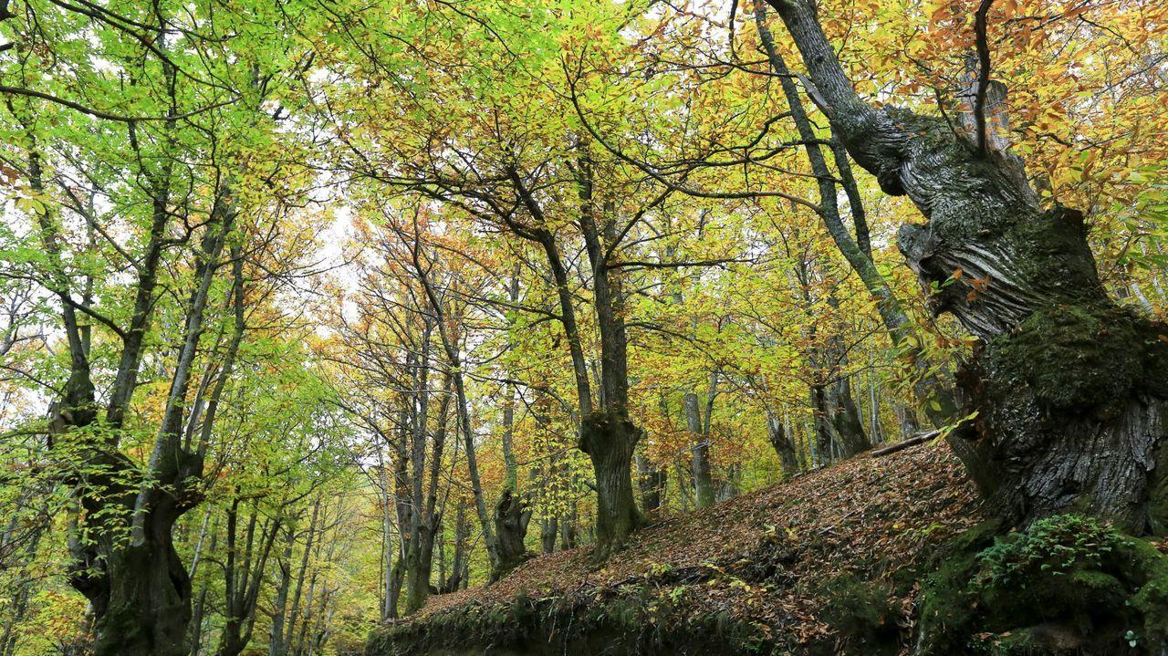 Los castaños (en la imagen, Pedrafita do Cebreiro) están presentes en muchos municipios de Galicia