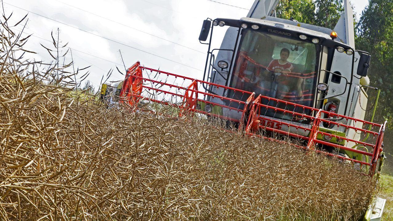 Una máquina cosechadora recoge la colza en un campo de la provincia de A Coruña.