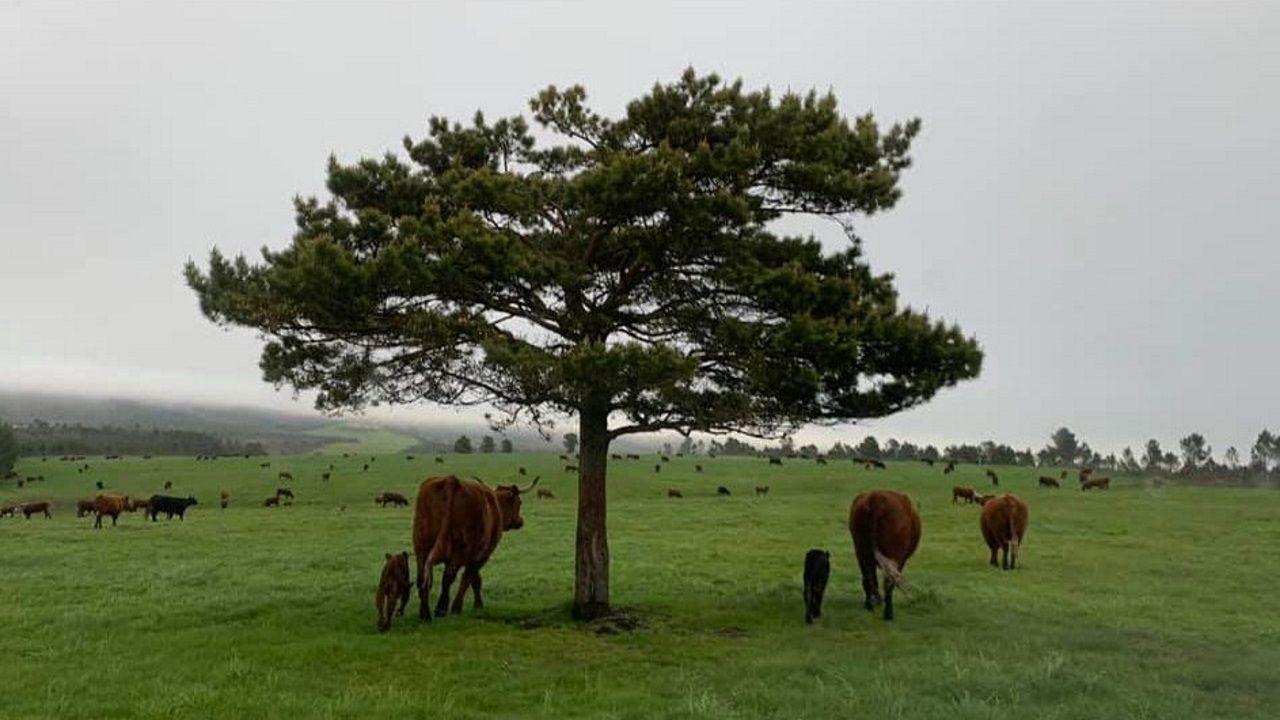 Un rebaño de vacas salers de Finca Enxebreza (grupo que tiene arrendada la finca a Piccolo Rancho S.A.) pastan en una parte de Parajes del Marqués, un nombre que hace referencia al marqués de Ensenada.