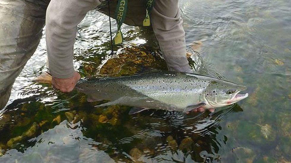 Suelta de un salmón en el río Esva.Suelta de un salmón en el río Esva