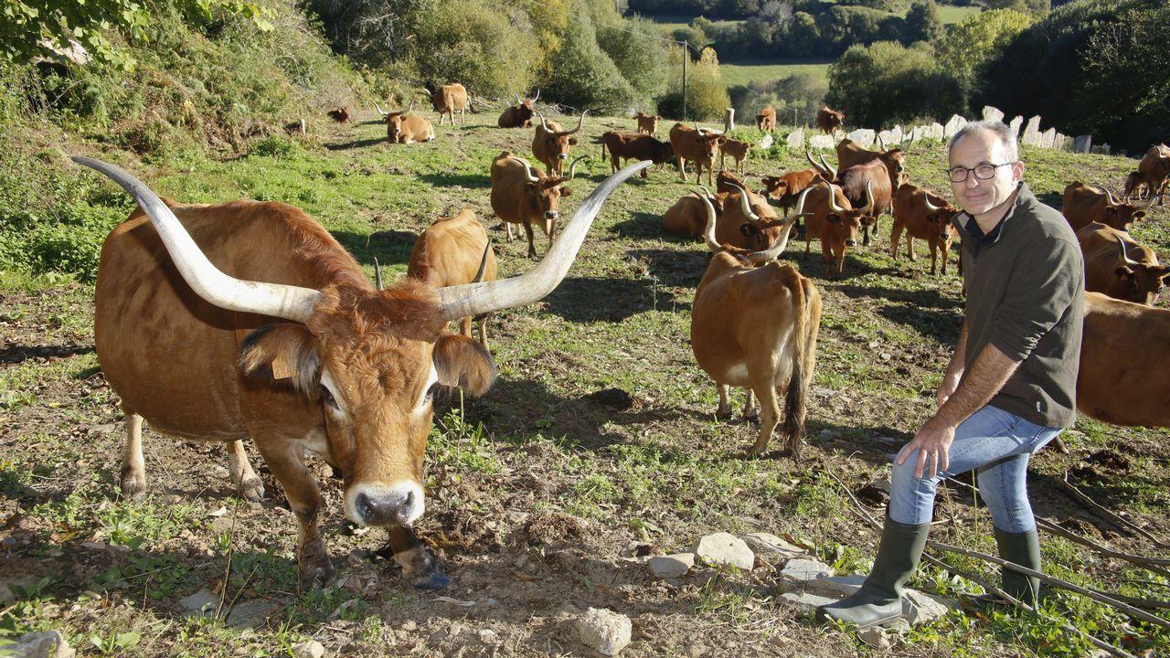 Anguez cría vacas cachenas en Triacastela