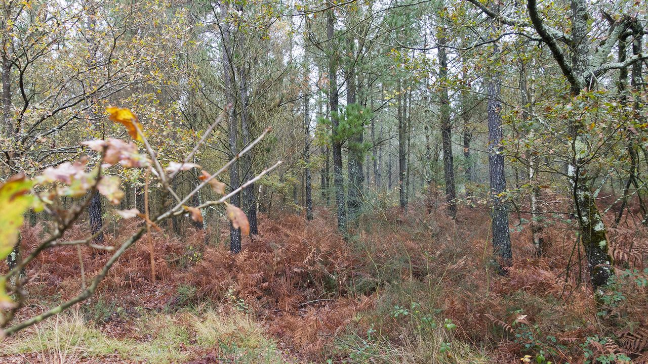 O Avó, un eucalipto del Souto da Retora, en Chavín, Viveiro, uno de los árboles singulares de Galicia
