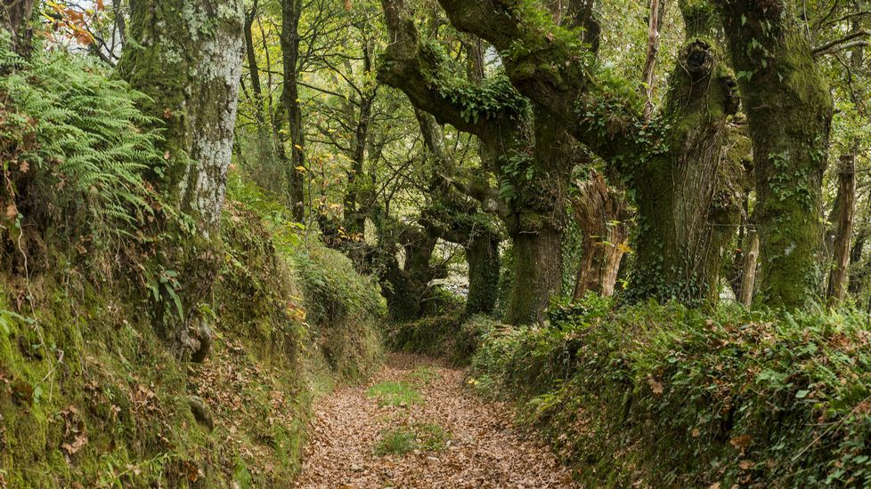 Árboles centenarios en el Camiño de Tras das Airas