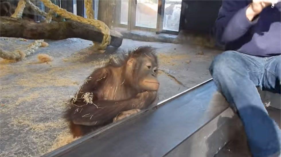 La reacción de una orangutana en el zoo de Barcelona