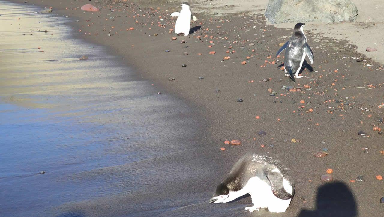 Pingüinos barbijos en la orilla