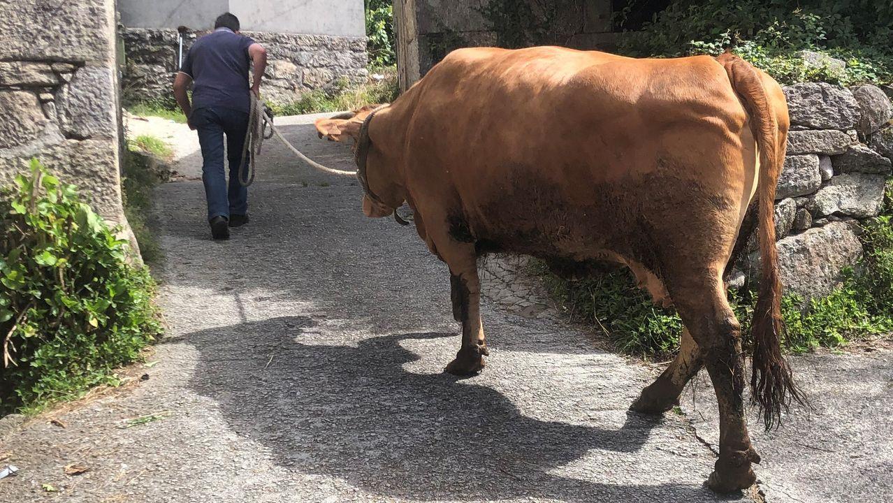 La vaca Rosita, de más de 1.000 kilos de peso y 10 años de vida, paseó ayer por última vez por las corredoiras de Cornes, antes de partir hacia el matadero