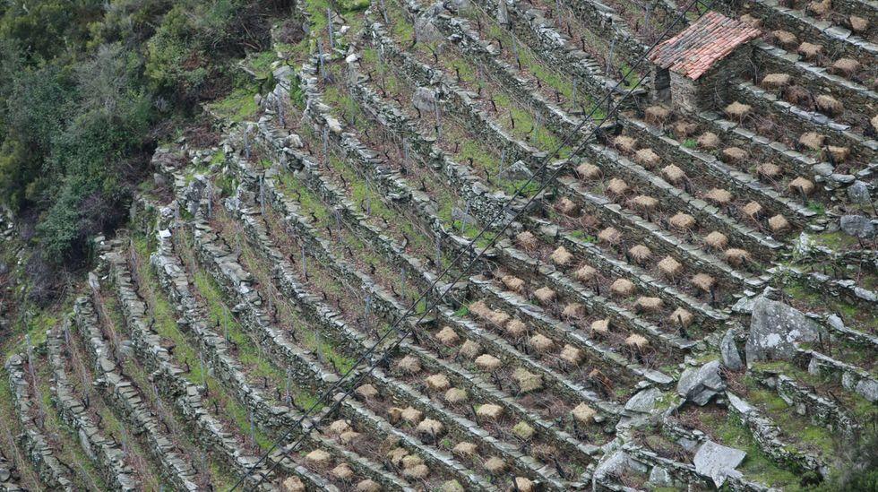 Una planta para cada rincón.Fardos de hierba listos para ser esparcidos en un viñedo en fuerte pendiente