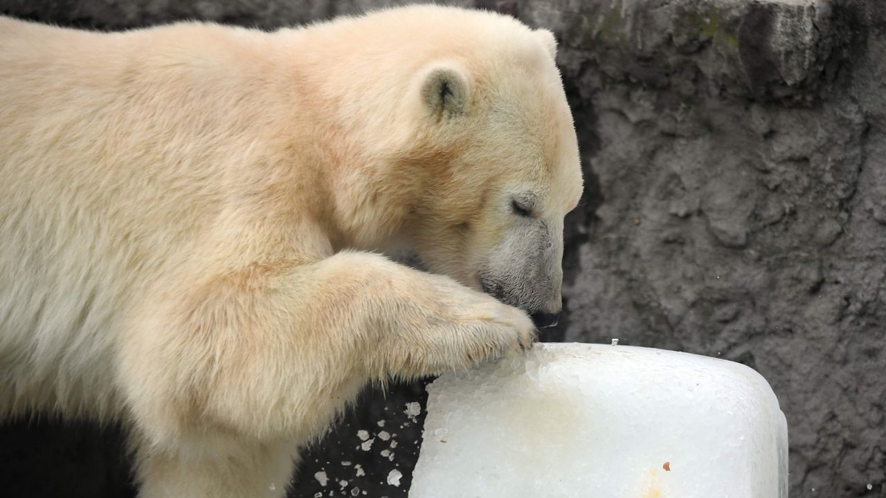 Un oso polar en Budapest a 40º arrimándose al hielo