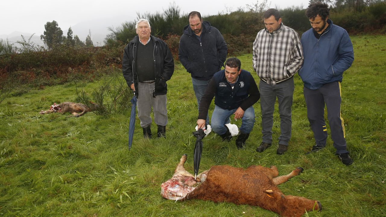 Los ganaderos hablan de la muerte de reses a causa de los lobos