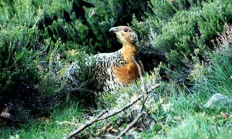 Esta es la imagen del último urogallo que se vio en Galicia, en el año 2003.