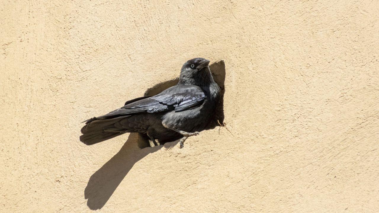 Una de las pocas colonias gallegas de esta especie vive en la iglesia de San Vicente do Pino, en Monforte