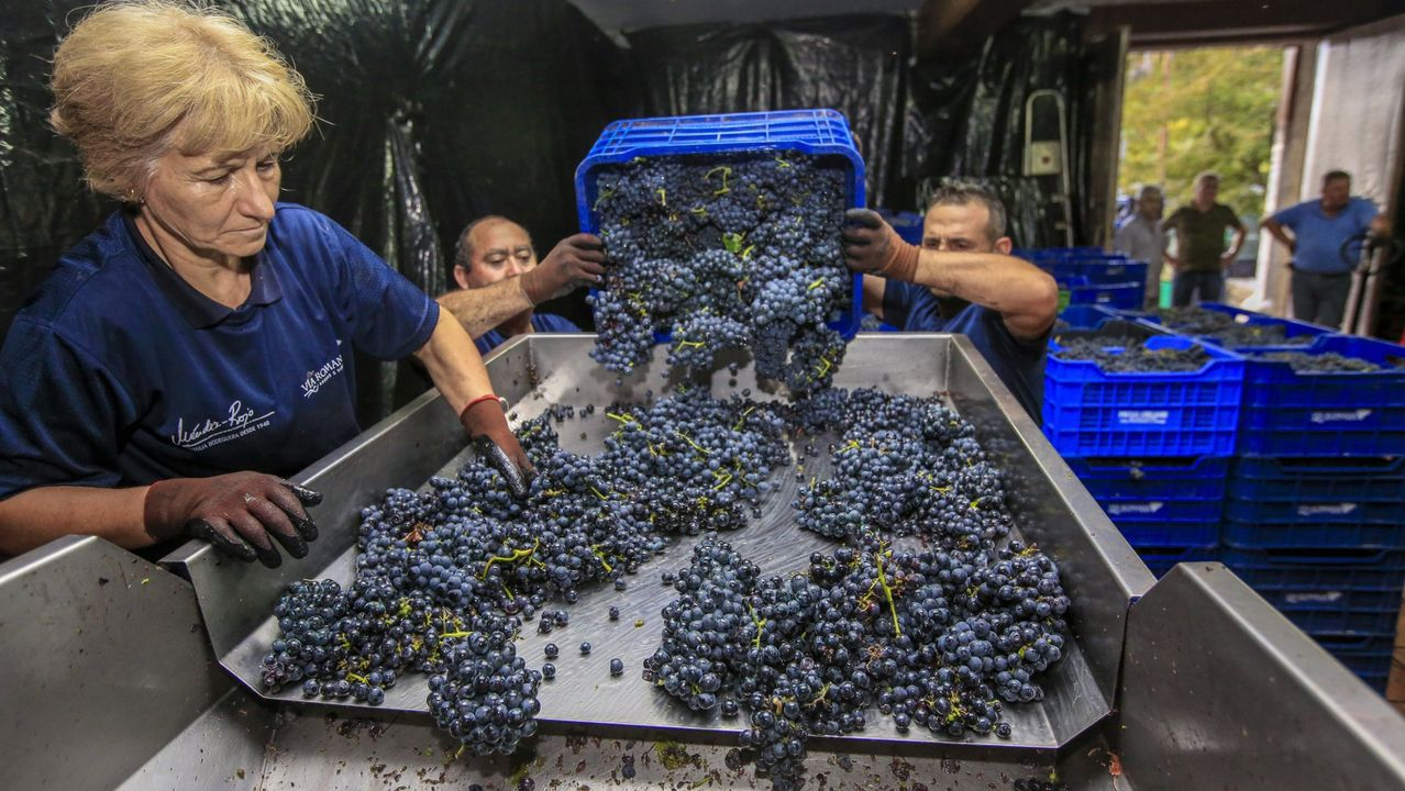 Cinco días viviendo como en los años Cincuenta.Entrada de uva en una bodega de Ribeira Sacra en la última vendimia