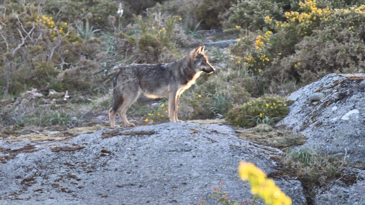 Vaca asturiana.Imagen de archivo de un lobo en O Forgoselo