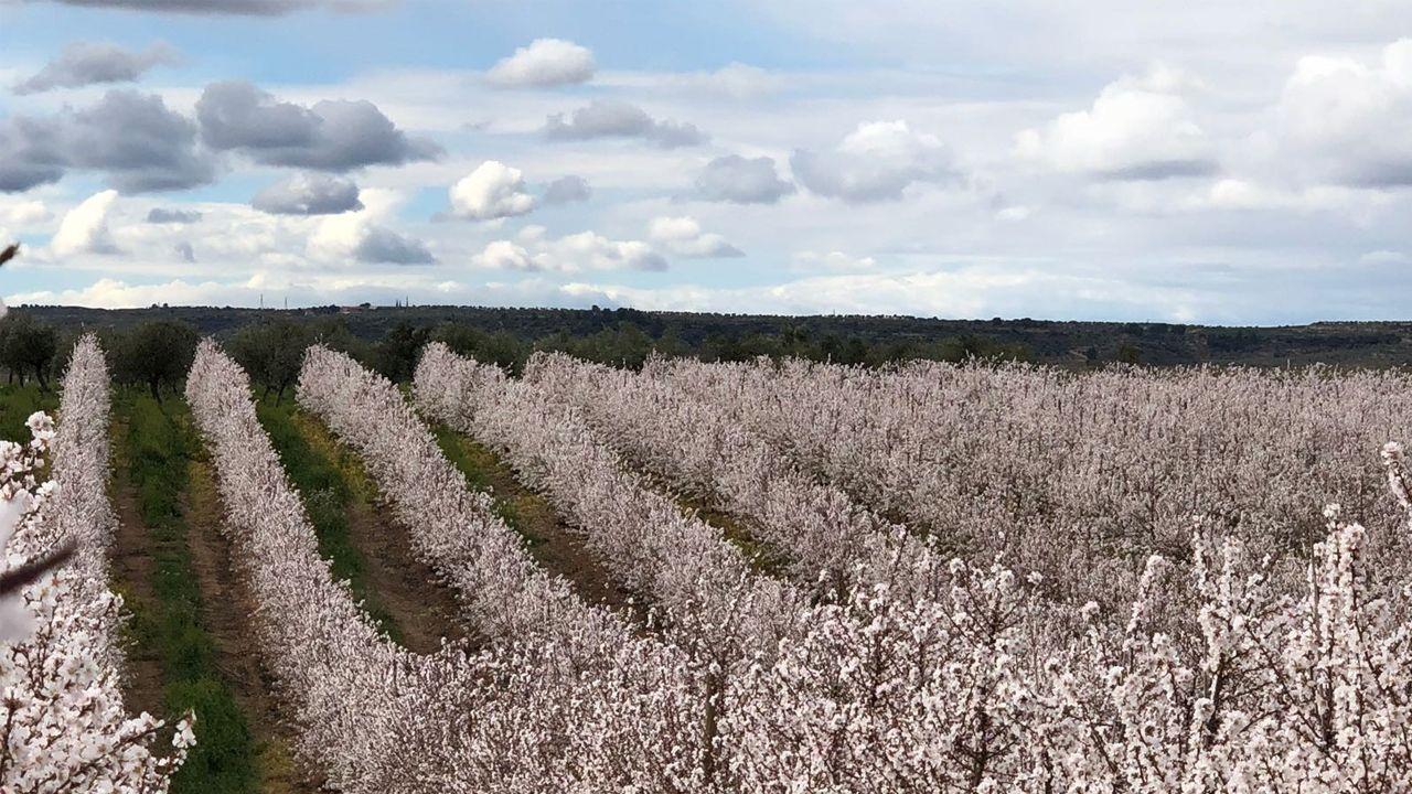 Plantación de almendros en Aragón