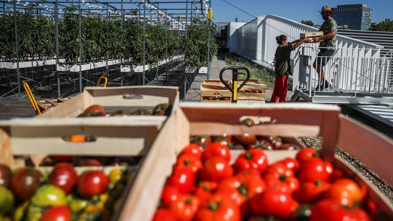 El mayor huerto urbano de Europa crece en una azotea de París.Viñedo afectado por el mildiu