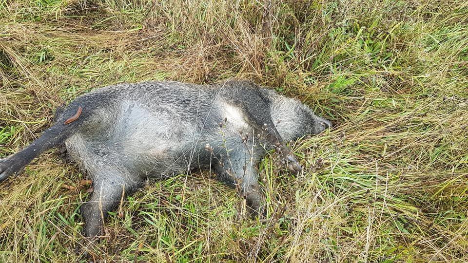 Perros vilaboa.Uno de los jabalíes que apareció muerto en una finca entre Cabueñes y Deva