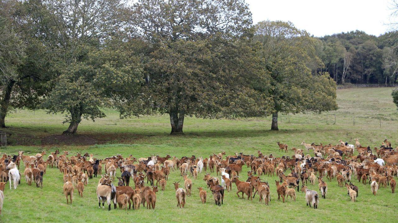 El uso de cabras para limpiar el monte ha sido posible en algunos lugares gracias a la participación en una red como Afinet