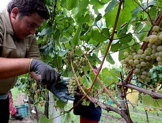 La denominación de origen acaba de vendimiar 41 millones de kilos de albariño.