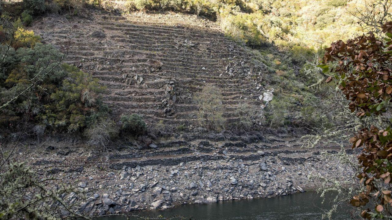 Viñedo en bancales recuperado junto al cauce del Sil en la ribera de Vilachá