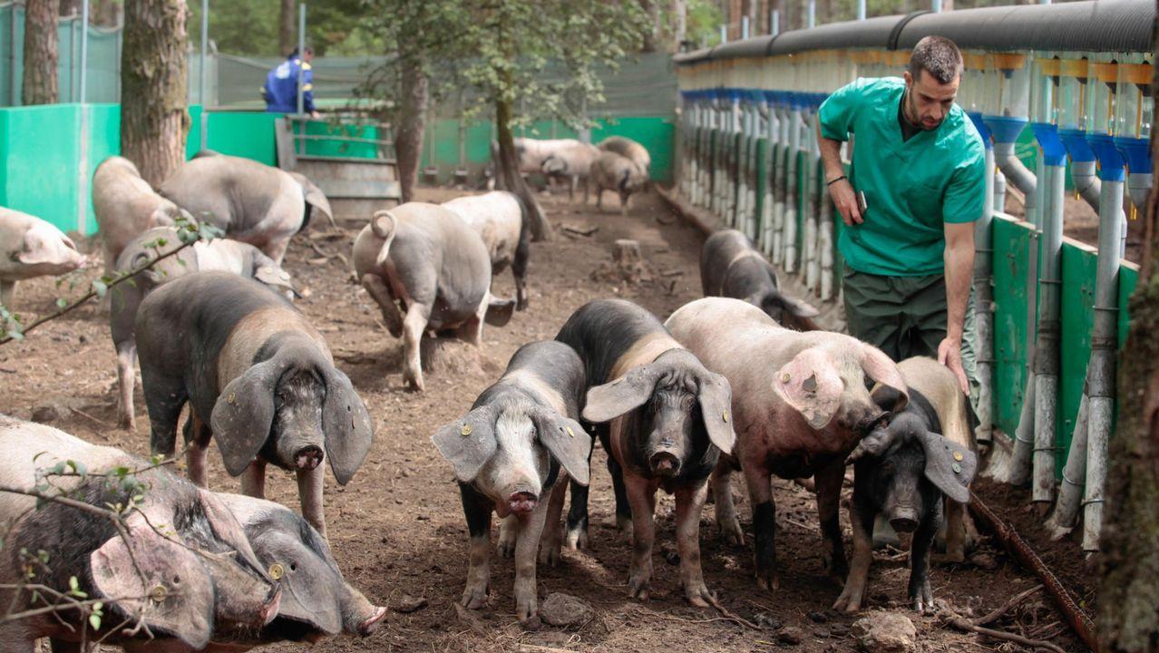 El porco celta se pastorea con patente