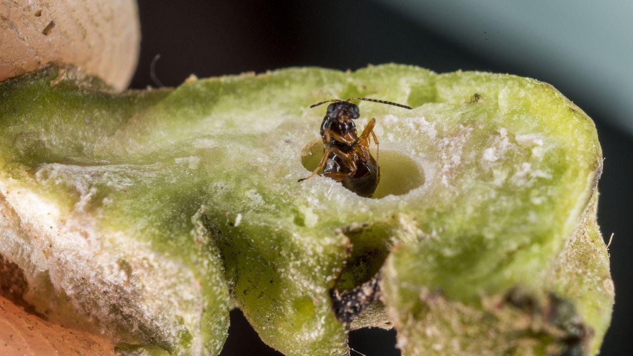 Imagen del nacimiento de una avispilla