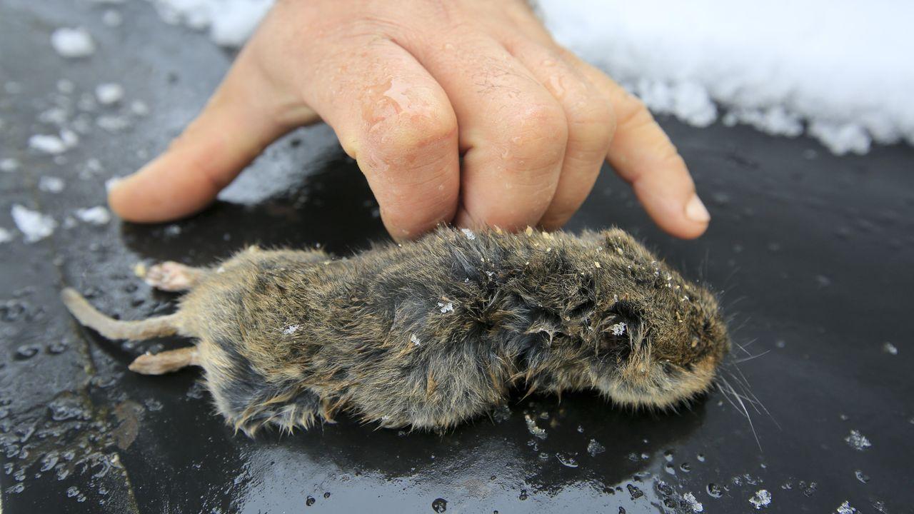 Navia de Suarna vive a tope la fiesta de la androlla.Un ejemplar de rata topera capturado el pasado noviembre en Triacastela