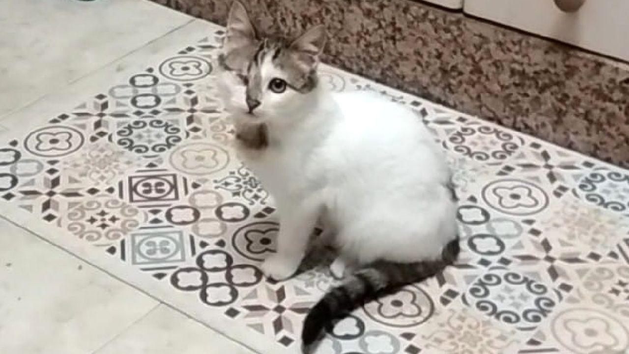 Un gato callejero que perdió un ojo a causa de una herida y que fue rescatado y dado en adopción por iniciativa de la asociación Miau Lemos