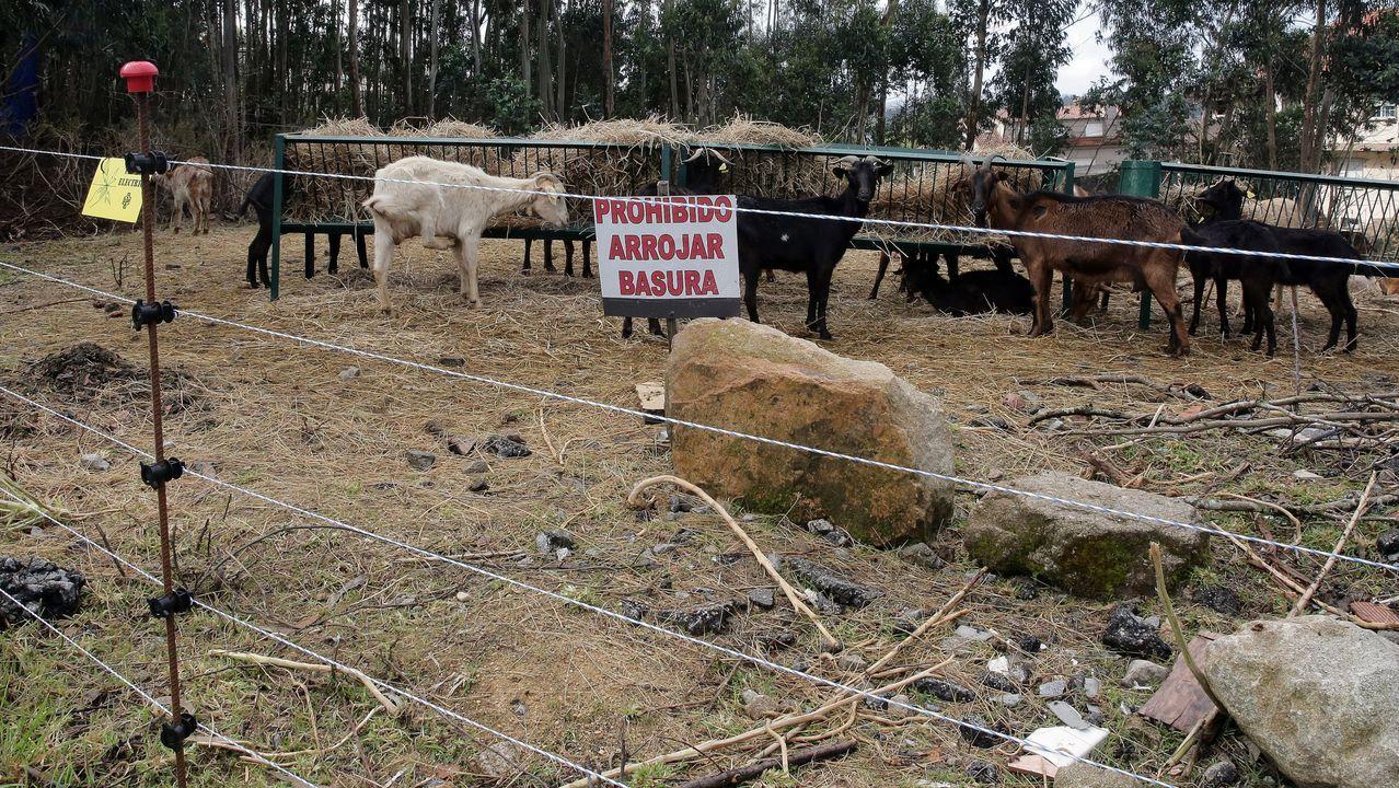 Cabras en una finca con pastor eléctrico