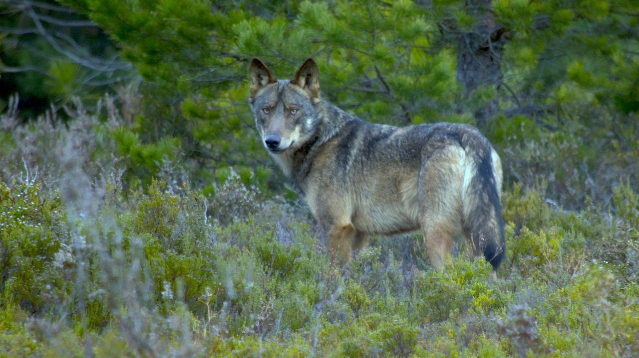 Vendimia en Pazo Baión.Imagen de un lobo avistado en la sierra de la Culebra, en la provincia de Zamora
