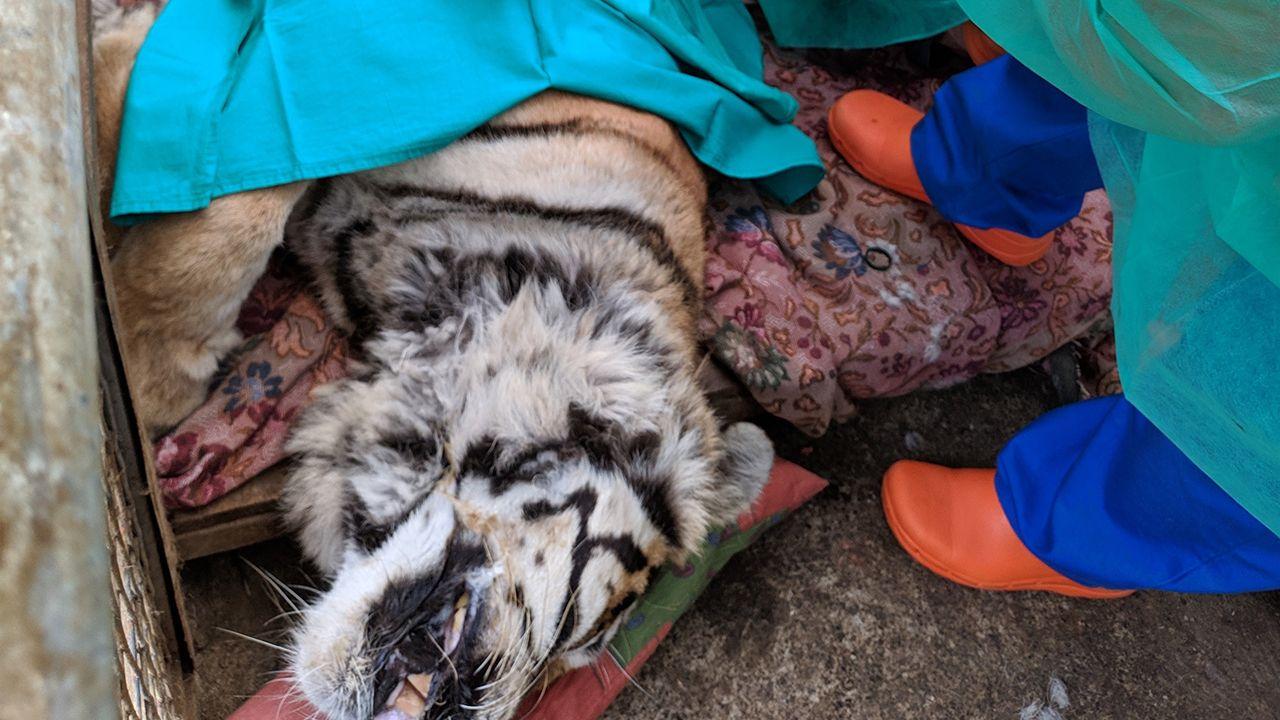 Intervención de una tigresa del zoológico El Bosque, en Oviedo