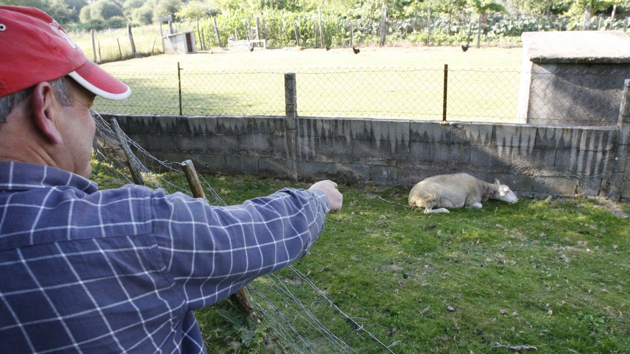 Una oveja muerta por un ataque de lobos en la parroquia de Tuiriz, en Pantón, en una imagen de archivo
