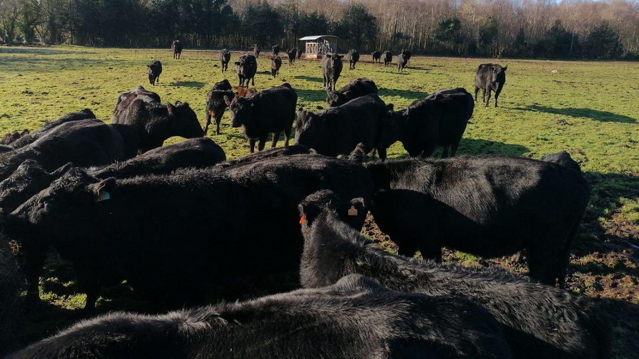 Vacas de la raza Angus en la granja de Martín Rego, en Grañas do Sor, en Mañón