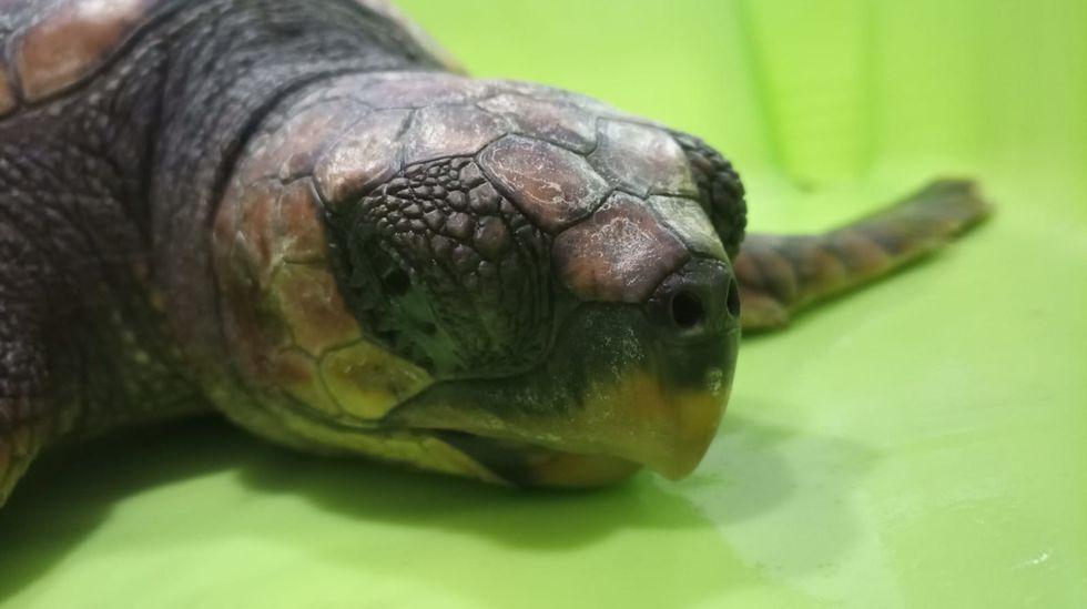 Adiós a Nanín, la tortuga que defecaba plásticos