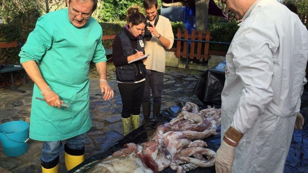 La autopsia al calamar gigante fue realizada en Luarca (Asturias), donde se encuentra el animal, por un equipo del IIM de Vigo y por miembros del Cepesma