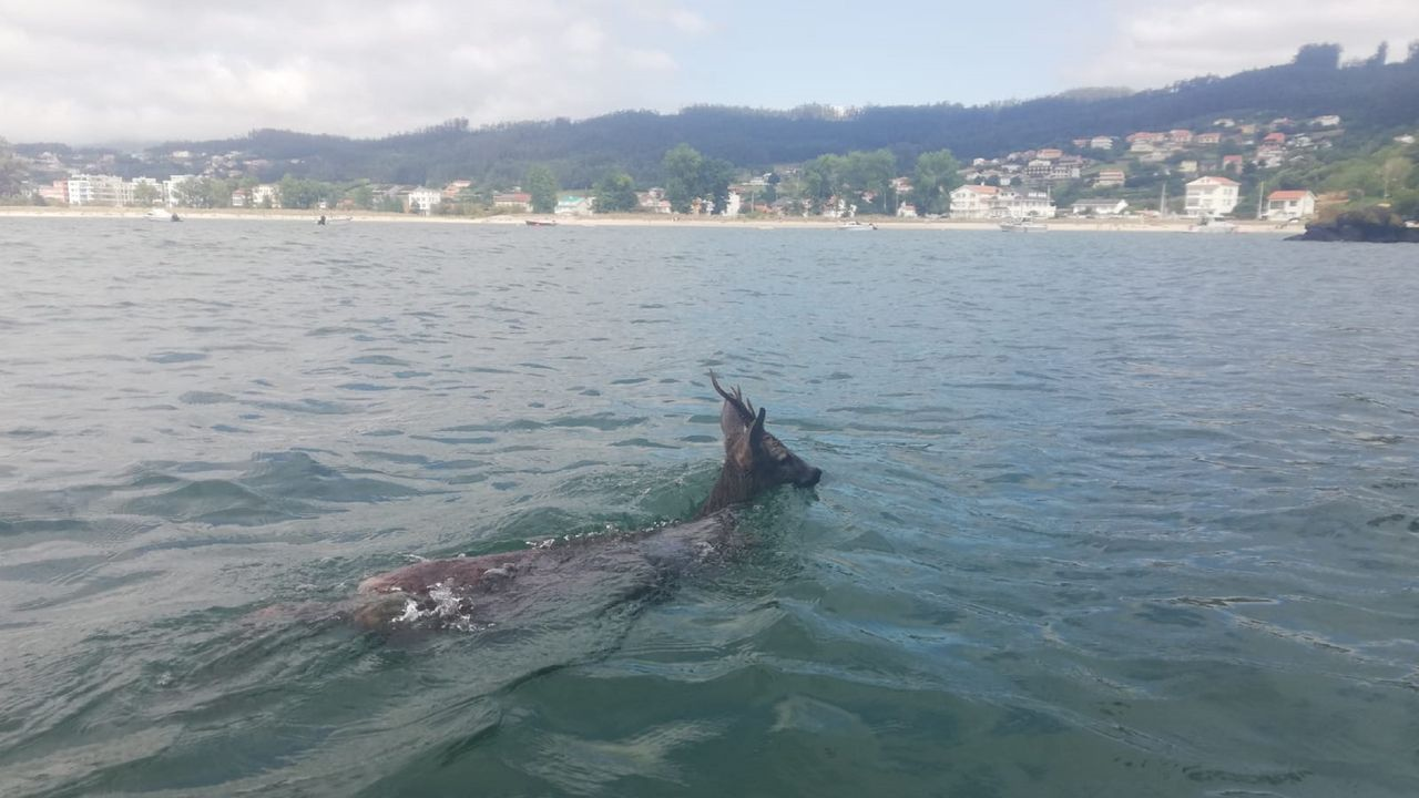 Encuentran a un corzo nadando y lo conducen hasta tierra firme.Exposición de verano en el Hotel Herbeira, en Cedeira