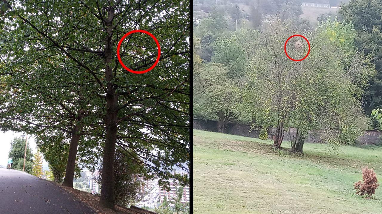 Nidos de avispa asiática en la Pista Finlandesa de Oviedo