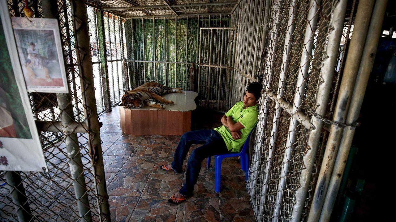 Un trabajador del parque de elefantes en Pattaya, Tailandia, duerme cerca de un tigre.