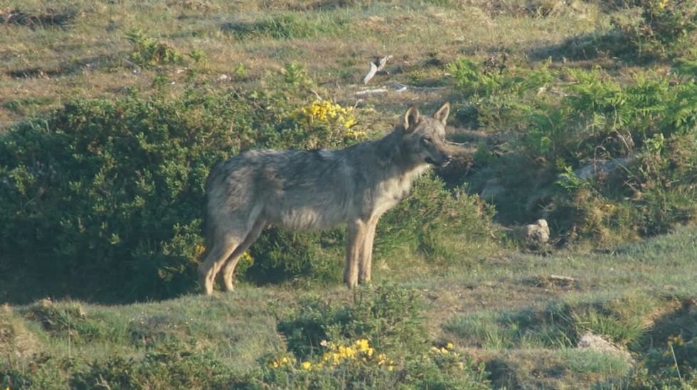 Un ejemplar de lobo fotografiado en el concello coruñés de Dumbría